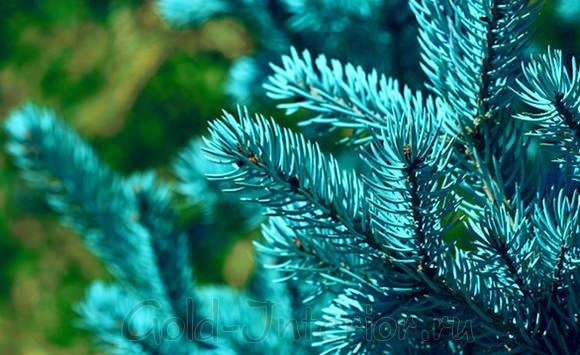 Натуральная голубая ель